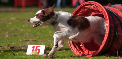 Red & White Setter Gathering