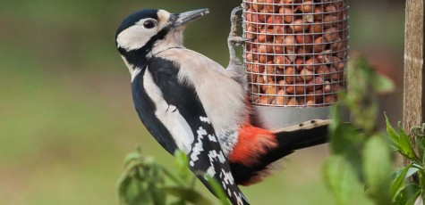 Greater_Spotted_Woodpecker-2012-7485