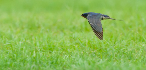 Swallow-20147470