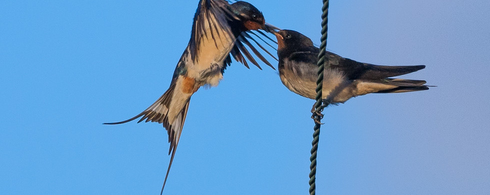 Swallow-20149332