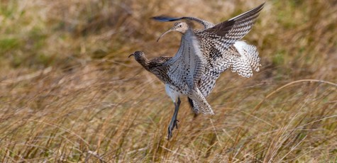 Curlew-20153733