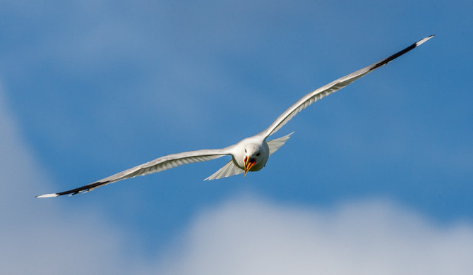Common_Gull-20154831