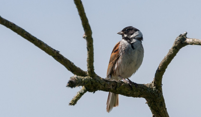 Reed_Bunting-20154711