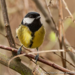 Great_Tit-20173153