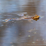 Common Toad-20189476