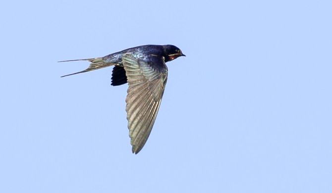 Swallow-20175670