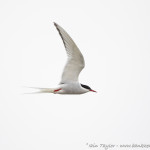 Common Tern-20181673