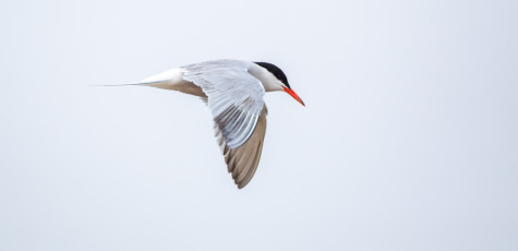 Common Tern-20181847